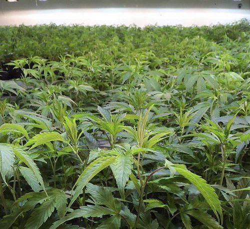"""Illustration 1 [DISRUPTIF] La création de la filière """"cannabis"""" représente un enjeu économique grandissant pour le Conseil d'Analyse Economique"""